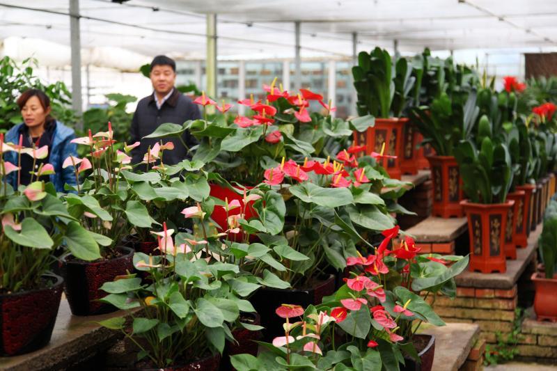 鄢陵县一花卉企业的温室大棚内鲜花娇艳欲滴