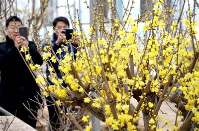 日,人们在河南鄢陵花木交易中心有限公司参观姚树新制作的古桩蜡