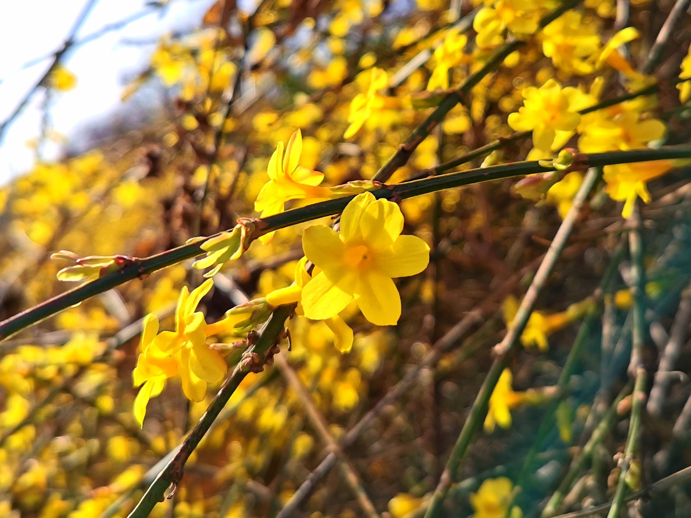 迎春花開春來到