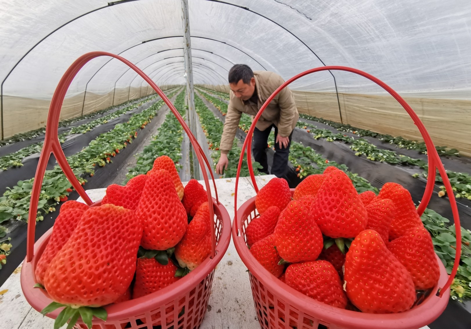 襄城县茨沟乡骞庄村因地制宜发展大棚草莓种植近百亩